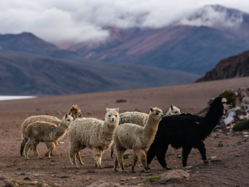 alpacas in the mountains