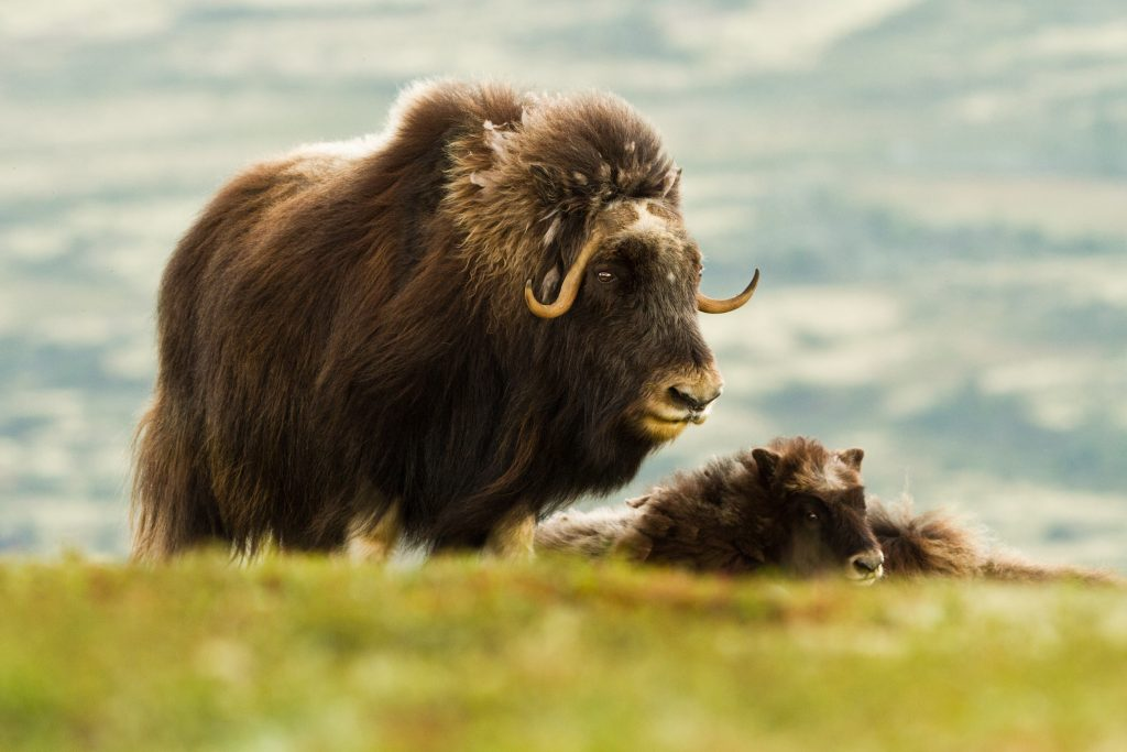 The Muskox (Dovrefjell Norway)