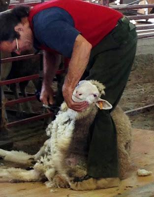 sheepshearingdemo